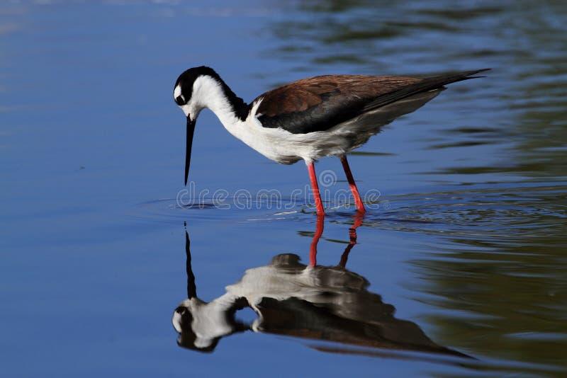 Svart-hånglad styltafågel royaltyfri foto