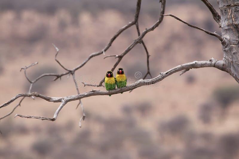 Svart-hövdad fågel royaltyfria bilder