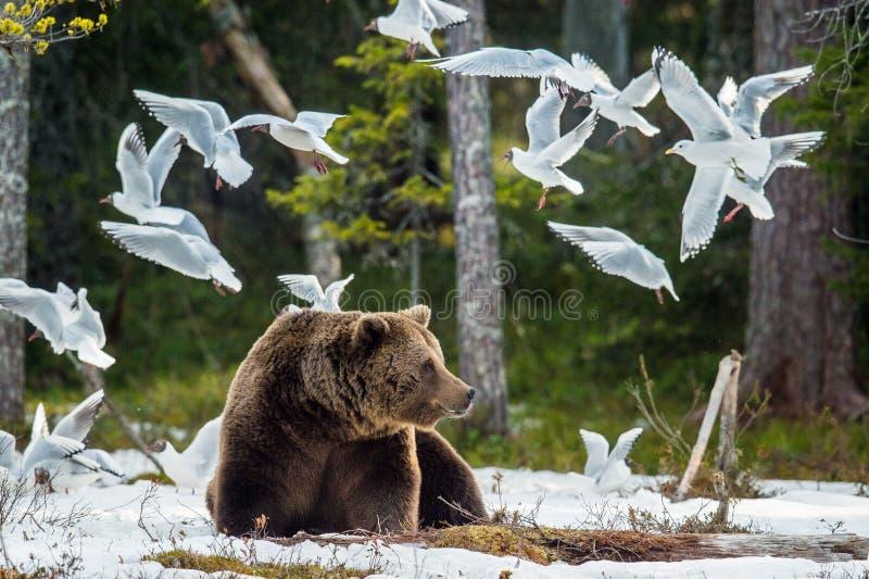 Svart-hövdad fiskmås för Seagulls och vuxen man av brunbjörnen royaltyfri fotografi