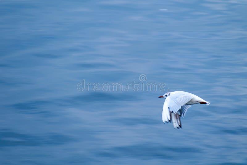 Svart-hövdad fiskmåsseagull som flyger över vatten arkivfoto