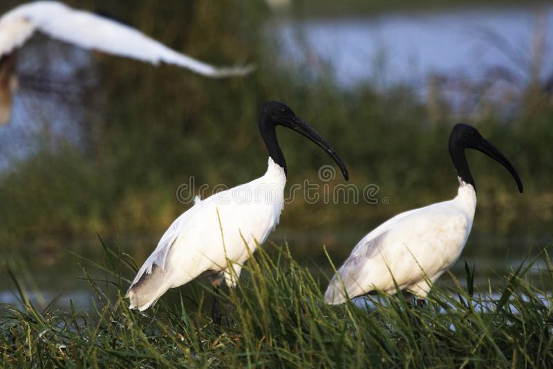 Svart-hövdad ibis, Threskiornismelanocephalus eller orientalisk vit ibis, indisk vit ibis, Indien royaltyfri fotografi