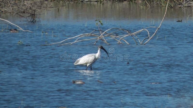 Svart-hövdad ibisreflexion i sjövatten, Indore-Indien royaltyfri bild