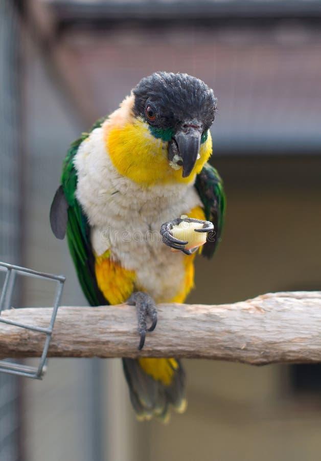 svart hövdad papegoja fotografering för bildbyråer