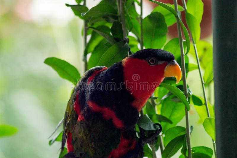 Svart-hövdad papegoja som sätta sig på vinrankan arkivbild