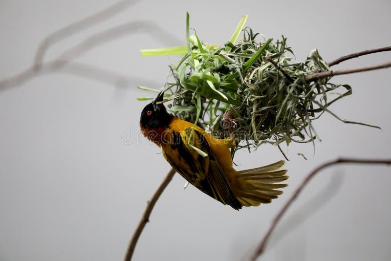 Svart hövdad textorvävarefågel royaltyfria foton