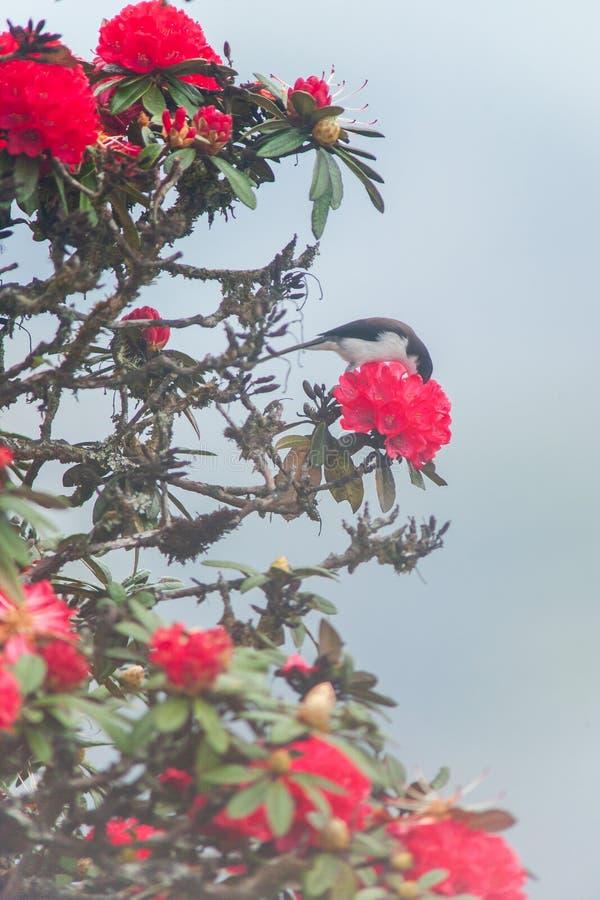 Svart-hövdade Sibia som äter rhododendronblommanektar Gulligt och att blidka Rhododendron är i blom Säsongnärmare detalj timmar l royaltyfri fotografi