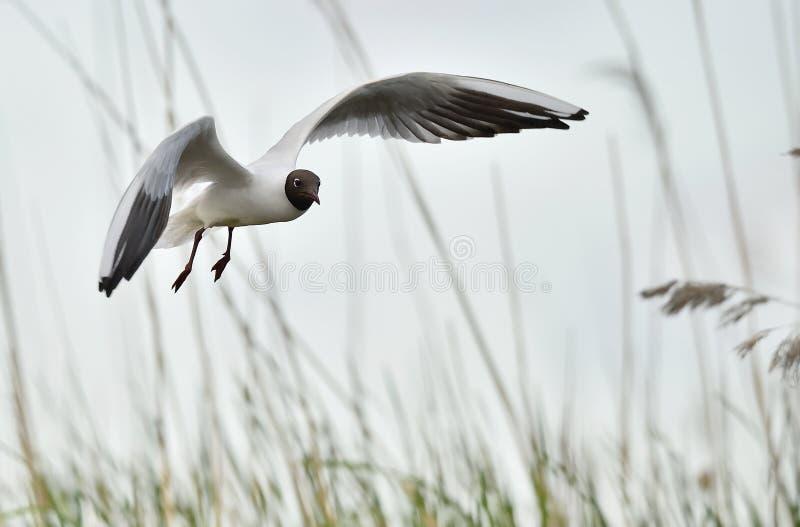 Svart-hövdat flyg för fiskmås (Larusridibundus) royaltyfri fotografi