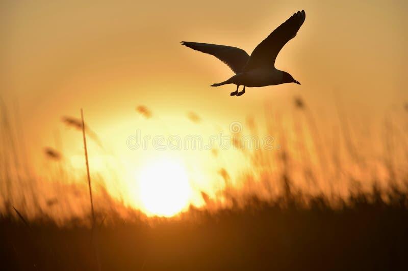 Svart-hövdat flyg för fiskmås (Larusridibundus) på solnedgång royaltyfri foto