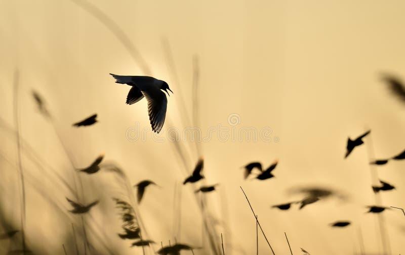 Svart-hövdat flyg för fiskmås (Larusridibundus) på solnedgång royaltyfri fotografi