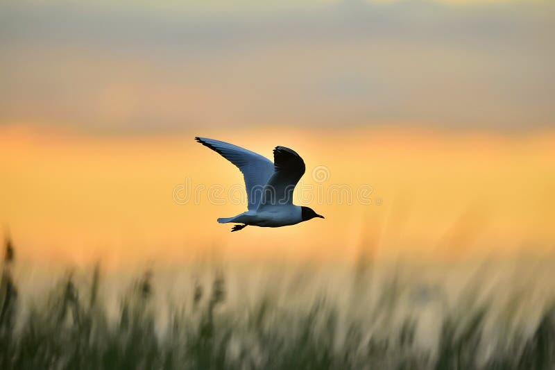Svart-hövdat flyg för fiskmås (Larusridibundus) på sunse royaltyfria foton