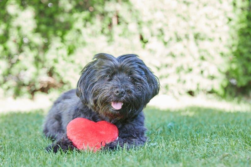 Svart havanese hund med röd hjärta för valentindag arkivbild