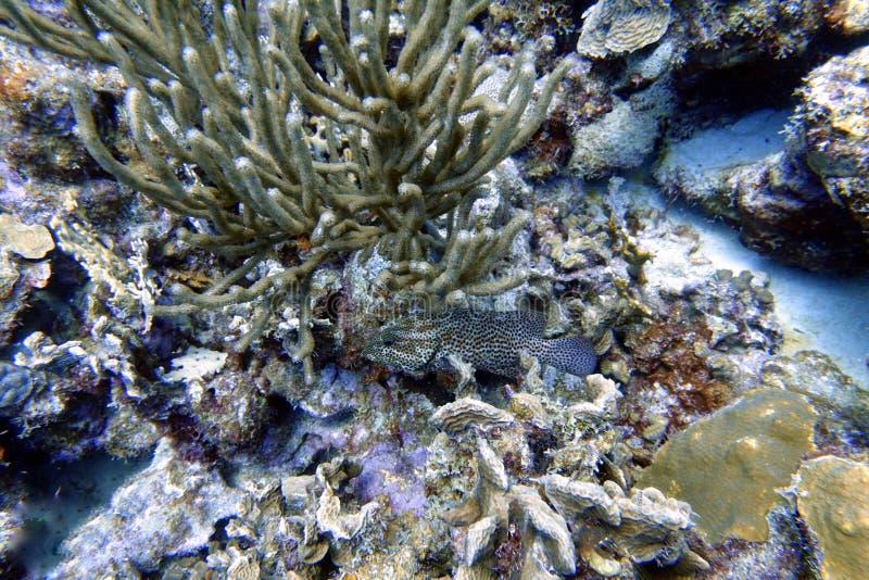 Svart havsaborresimning i havet royaltyfri bild