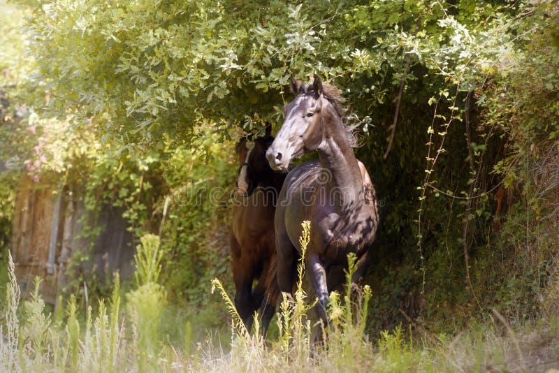 Svart hingst i skogen royaltyfri fotografi