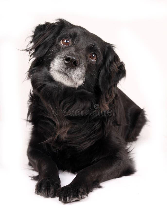 svart hund royaltyfri foto