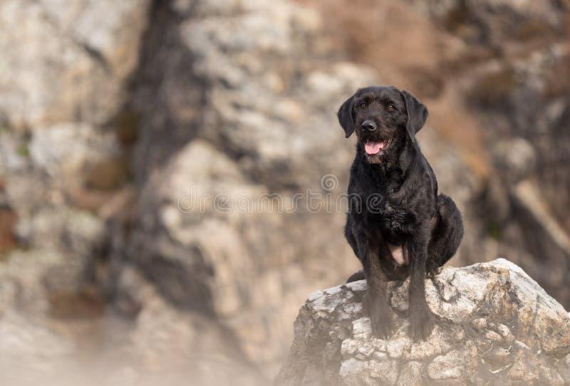 Svart hund Amy för härlig byracka på berg arkivfoto