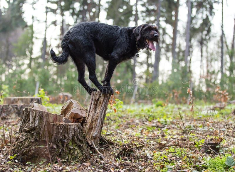 Svart hund Amy som för härlig byracka balanserar på stubbe royaltyfri bild
