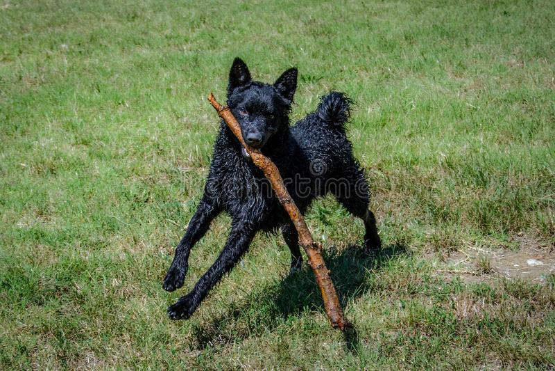 Svart hund en kroatisk herde royaltyfri foto