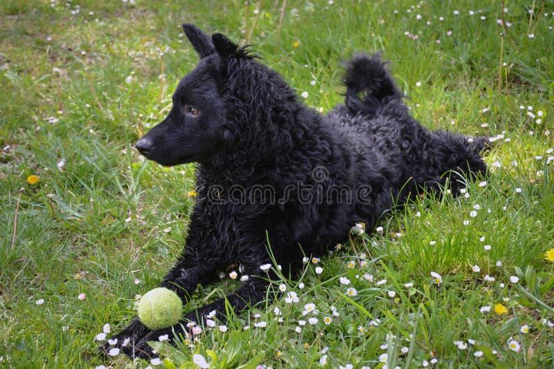 Svart hund en kroatisk herde arkivbild