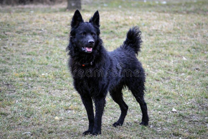 Svart hund en kroatisk herde arkivbilder