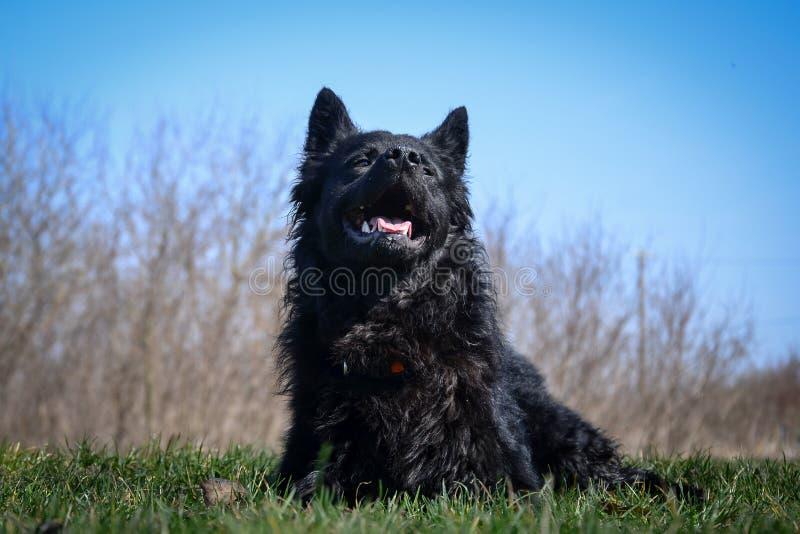 Svart hund en kroatisk herde royaltyfri fotografi
