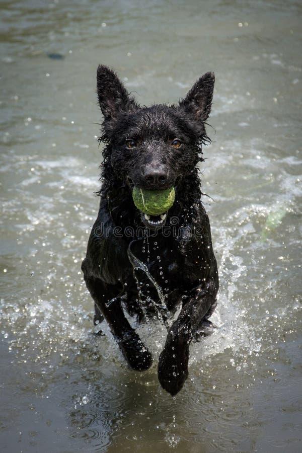 Svart hund en kroatisk herde i sjön royaltyfri bild