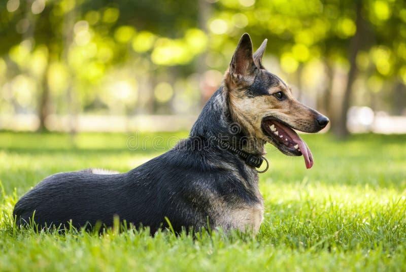 Svart hund för blandad avel som ligger på gräset arkivfoto