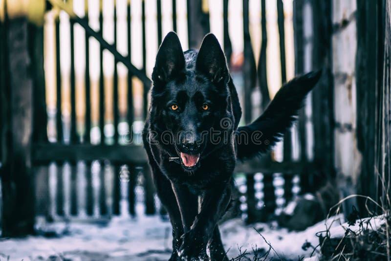 Svart hund Greta royaltyfri bild