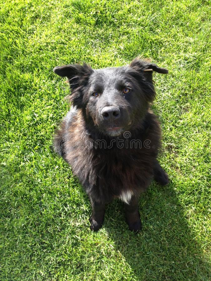 Svart hund på nyfiket gräs - royaltyfria foton