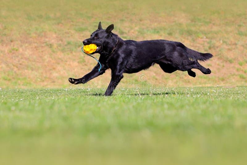 Svart hund som kör i grönt gräs med bollen Den tyska herden Dog, är en avel av denstorleksanpassade funktionsdugliga hunden s arkivfoto