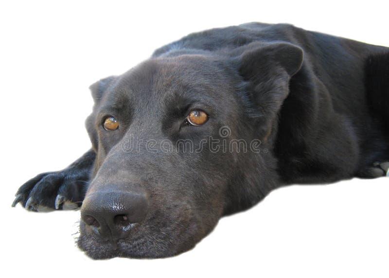 Download Svart Hund Som Ligger På Vit Bakgrund Fotografering för Bildbyråer - Bild av isolerat, läggande: 27283849