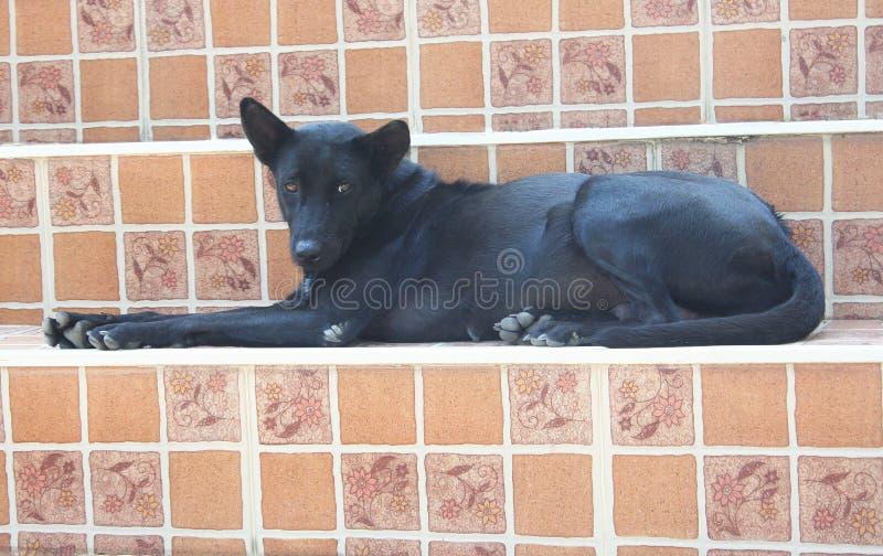 Svart hund som sitter på trappuppgång i tempel arkivfoto