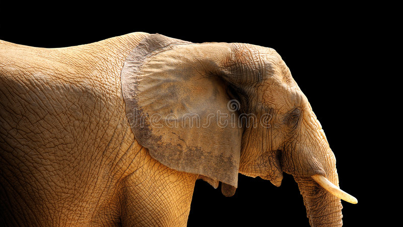 svart isolerad elefanthdr arkivbilder