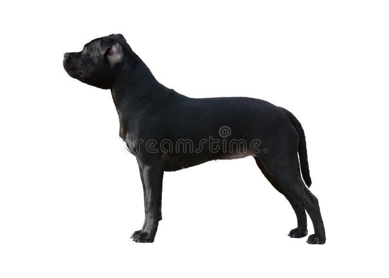 Svart isolerad Staffordshire Bull terrier ställning royaltyfria foton