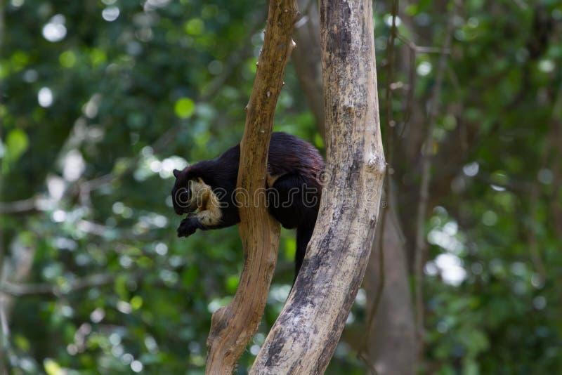Svart jätte- ekorre bicolor Ratufa arkivbild