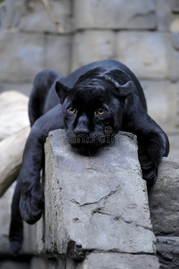 svart jaguar arkivbilder