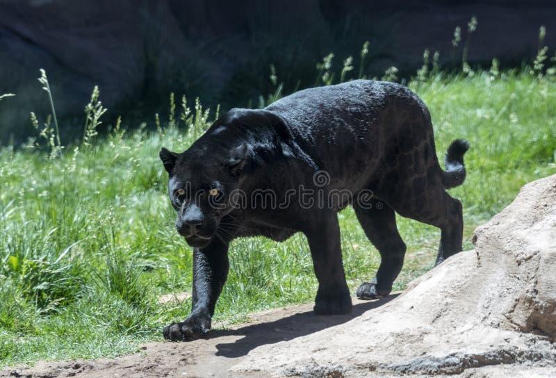 Svart jaguar eller panter royaltyfria bilder