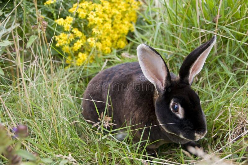 svart kanin royaltyfri bild