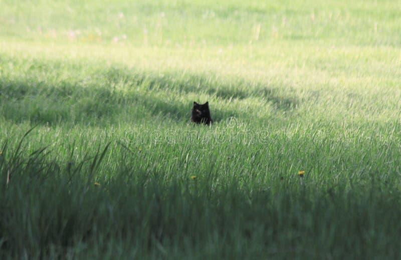 Svart katt i högväxt gräs arkivfoton
