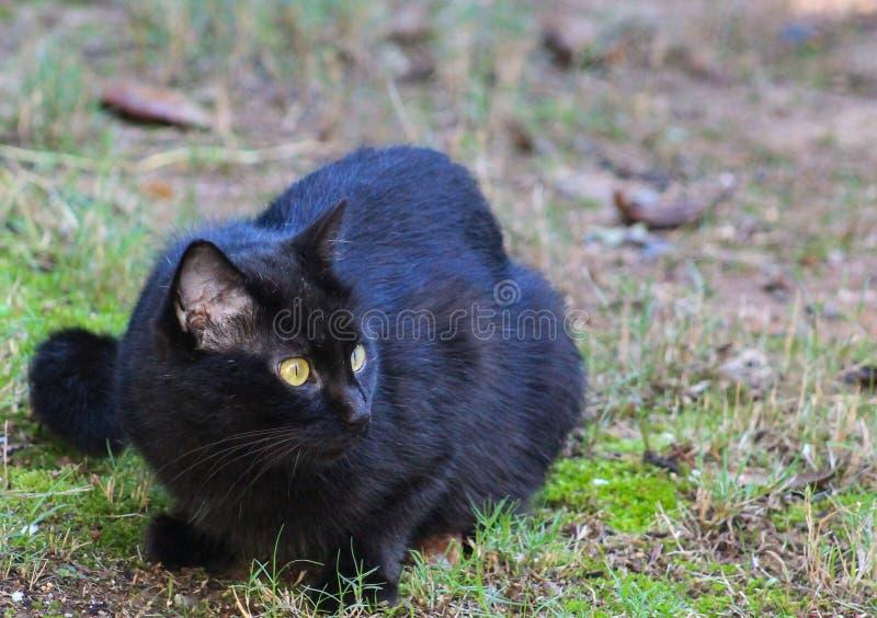 Svart katt - jakt royaltyfri bild