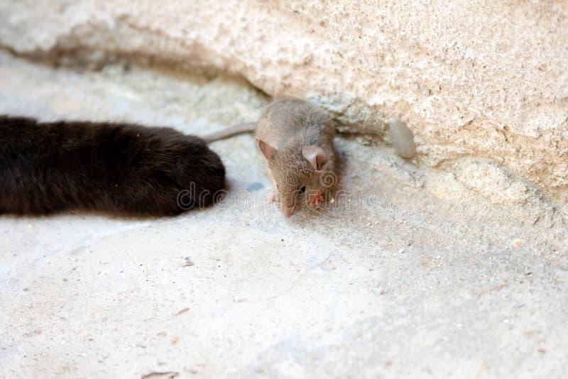 Svart katt och mus i en jägare - rovförhållande fotografering för bildbyråer