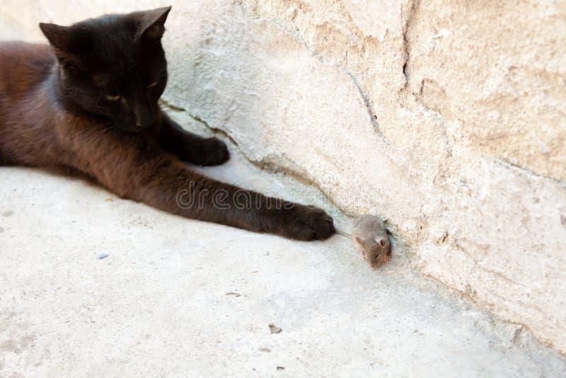 Svart katt och mus i en jägare - rovförhållande arkivfoton