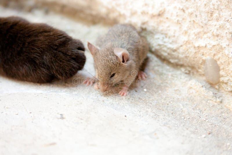 Svart katt och mus i en jägare - rovförhållande arkivbilder