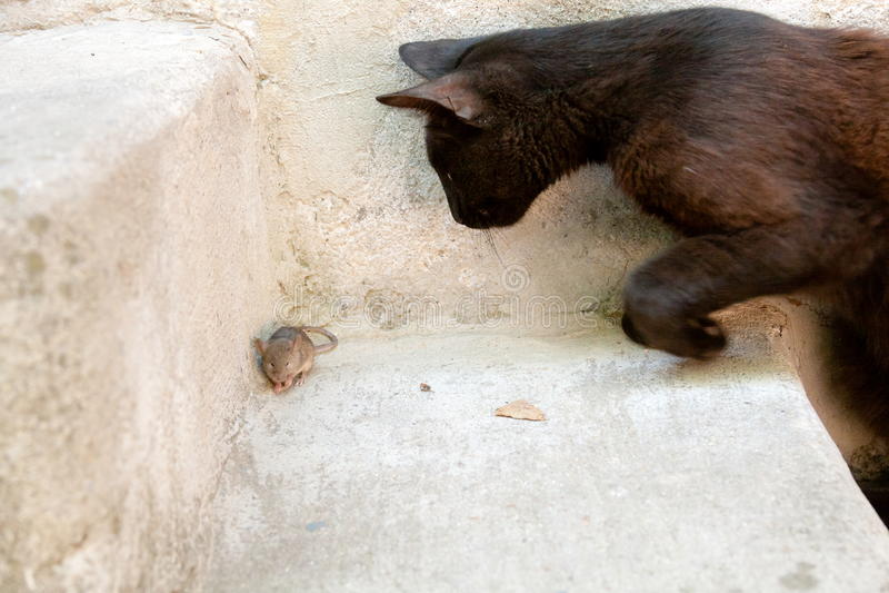 Svart katt och mus i en jägare - rovförhållande royaltyfri fotografi