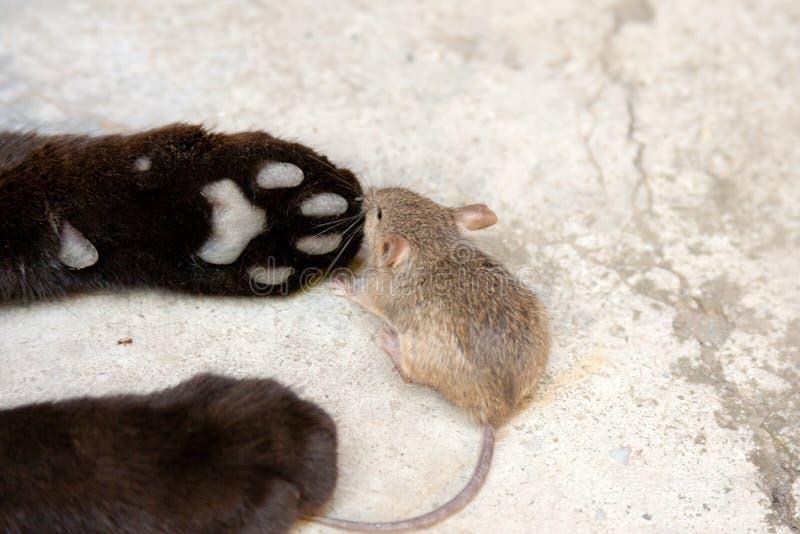 Svart katt och mus i en jägare - rovförhållande royaltyfria bilder