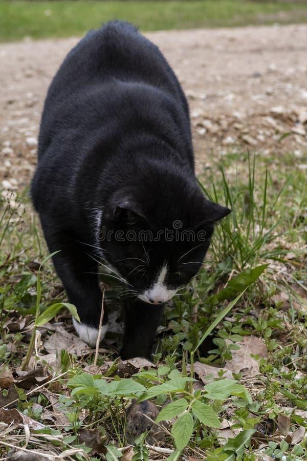 Svart katt som jagar en mus royaltyfria foton
