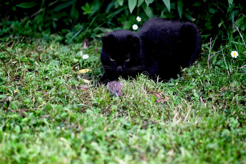 Svart katt som lite jagar fältmusen royaltyfria foton