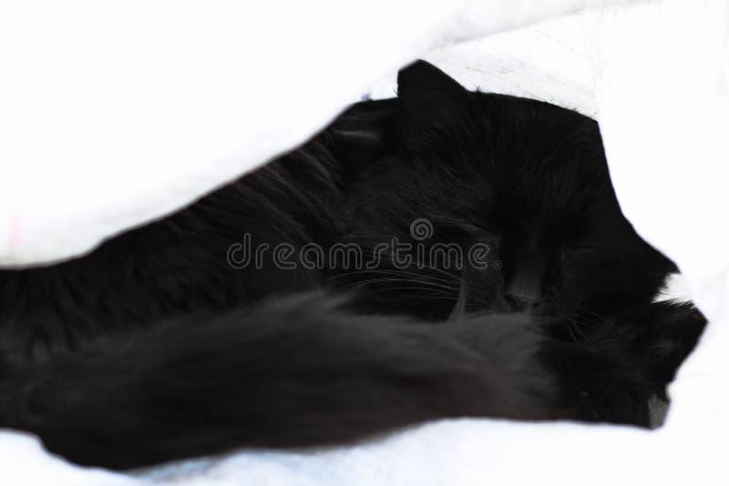 Svart katt som sover närbilden som slås in i vit bakgrund arkivfoton