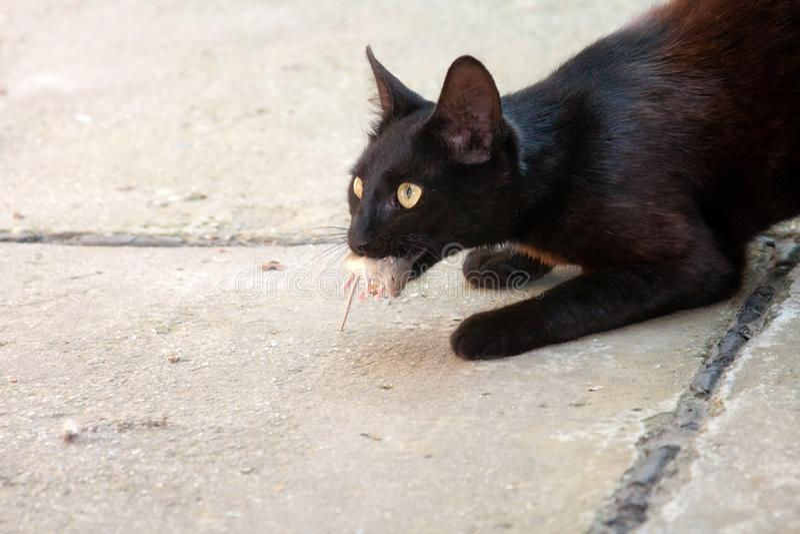 svart kattmus arkivfoto