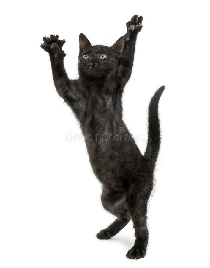 Svart kattungeanseende på bakre ben, nå som tafsar upp arkivbild