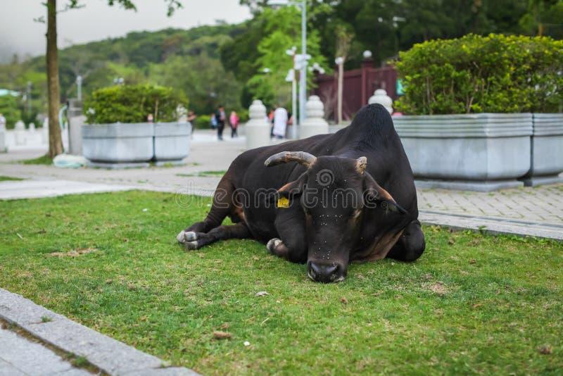 Svart ko med ett brutet horn som vilar på gräsmatta nära templet med flugor på dess framsida royaltyfri fotografi